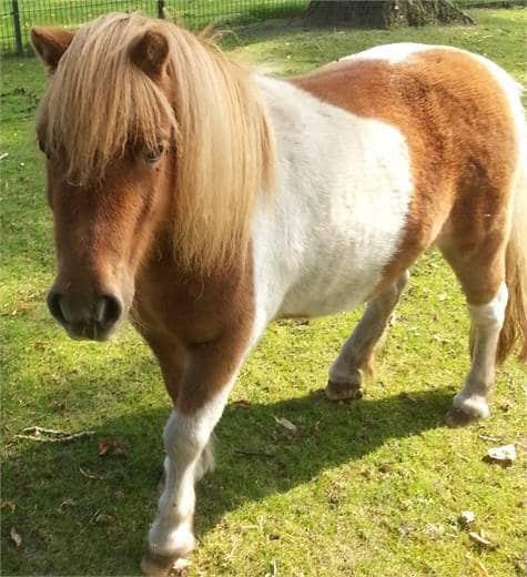 Maggie de pony