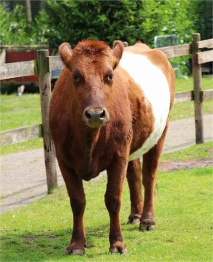 Suske de koe