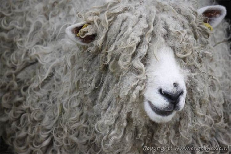 Patsy, bolletje, liekje e.a. de schapen